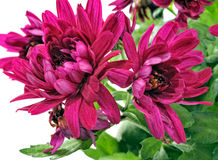 Blooming chrysanthemum Stock Image