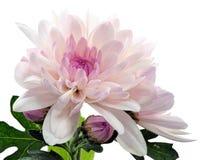 Blooming chrysanthemum. Close-up view to blooming chrysanthemum on white background Royalty Free Stock Photo