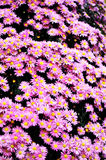 Blooming chrysanthemum background Royalty Free Stock Photo