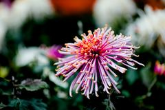 Blooming chrysanthemum. Chrysanthemum has its own characteristics, some beautiful and elegant, some bright and eye-catching, and some hold their heads high Stock Images