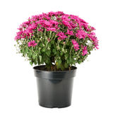 Blooming chrysanthemum in flowerpot Stock Image