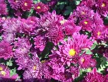 Blooming Chrysanthemum or mums Stock Photography