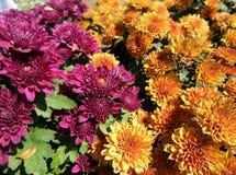 Blooming Chrysanthemum or mums Royalty Free Stock Photography