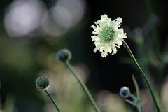 Blooming chrysanthemum Stock Photos