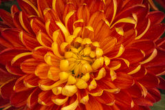Blooming chrysanthemum petals. Autumn is the season of chrysanthemums open, colour is gorgeous chrysanthemum in the autumn wind emancipator pride in their beauty Royalty Free Stock Photos