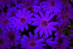 Blooming chrysanthemum Royalty Free Stock Photography