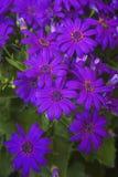 Blooming chrysanthemum Royalty Free Stock Images