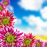 Blooming chrysanthemums Royalty Free Stock Photography