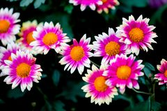Blooming chrysanthemums. Chrysanthemum has its own characteristics, some beautiful and elegant, some dazzling, some high up. .. .. .. .. .. Chrysanthemum is Royalty Free Stock Photos