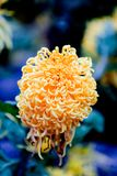 Blooming chrysanthemums. Chrysanthemum has its own characteristics, some beautiful and elegant, some dazzling, some high up. .. .. .. .. .. Chrysanthemum is Royalty Free Stock Image
