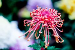 Blooming chrysanthemums. Chrysanthemum has its own characteristics, some beautiful and elegant, some dazzling, some high up. .. .. .. .. .. Chrysanthemum is Stock Photos