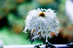 Blooming chrysanthemums. Chrysanthemum has its own characteristics, some beautiful and elegant, some dazzling, some high up. .. .. .. .. .. Chrysanthemum is Royalty Free Stock Images