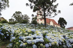Blooming Church Gramado. Hortensias in front of a church partially hidden by an Araucaria in Gramado, south of Brazil Stock Photos