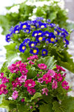 Blooming Cineraria Stock Photo