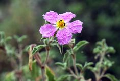 Blooming cistus Royalty Free Stock Photos
