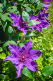 Blooming Clematis. A beautiful floral composition with radiant colors Royalty Free Stock Images