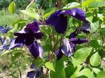 Free Blooming Clematis - Eutopia Garden - Arad, Romania Stock Photo - 128684550