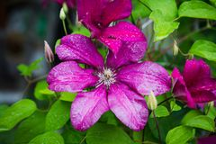 Blooming `Niobe` clematis in the garden Royalty Free Stock Photos