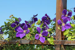 Blooming clematis. Photo nature clematis bush on wooden planks Royalty Free Stock Photo