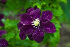 Blooming `Space melody` clematis in the garden Royalty Free Stock Images