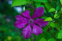 Blooming `Space melody` clematis in the garden Royalty Free Stock Photo
