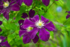 Blooming `Space melody` clematis in the garden Stock Photography