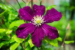 Blooming `Space melody` clematis in the garden Stock Images