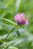 Blooming clover close up Royalty Free Stock Photos