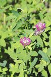 Blooming clover. In the forest. Selective focus royalty free stock photo