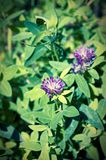 Blooming clover. In the forest. Selective focus. Lo-fi effect royalty free stock photography