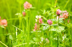 Blooming clover in green grass Stock Photography