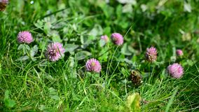 Blooming clover on  lush summer meadow stock video