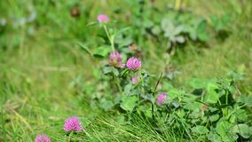 Blooming clover on  lush summer meadow stock footage