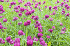 Blooming clover Stock Images
