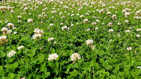Blooming clover meadow Stock Image