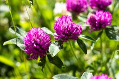 Blooming clover purple shade. Clover grows in a clearing and is illuminated by a warm and bright sun stock image