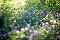 Blooming clovers shot with soft focus lens Stock Photo