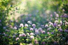 Blooming clovers shot with soft focus lens Royalty Free Stock Image