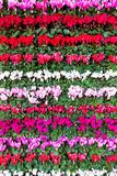 Blooming flowers Cyclamen in rows. Blooming colorful flowers Cyclamen in rows Royalty Free Stock Photography