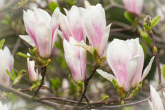 Blooming colorful magnolia flowers in sunny garden or park, springtime Royalty Free Stock Photography