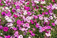 Blooming colorful petunias Royalty Free Stock Photo