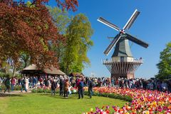Blooming colorful tulips flowerbed in public flower garden Keukenhof with windmill. Popular tourist site. Lisse, Holland, Netherla. Nds royalty free stock images