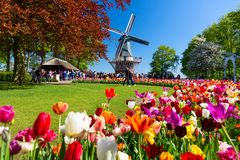 Blooming colorful tulips flowerbed in public flower garden with windmill. Popular tourist site. Lisse, Holland, Netherlands.  royalty free stock image