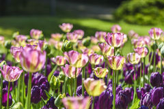 Blooming colorful tulips in a garden, spring time in Poland. Royalty Free Stock Images