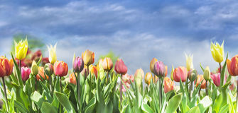 Blooming colorful tulips on sky background Royalty Free Stock Photos