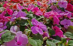 Blooming colorful vinca Flowers in the garden ,Useful for backg. Round,web design or banner Royalty Free Stock Image
