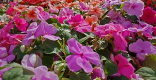 Blooming colorful vinca Flowers in the garden ,Useful for backg Stock Image