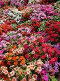Blooming colorful vinca Flowers in the garden ,Useful for backg. Round Stock Photos