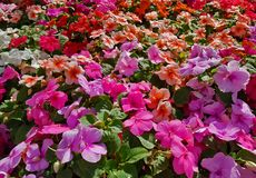 Blooming colorful vinca Flowers in the ggarden ,Useful for backg. Round Royalty Free Stock Photography