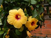 Hibiscus Fam; Malvaceae. Blooming colourfully and decorating Ho Chi Minh City, here in Vietnam Stock Images
